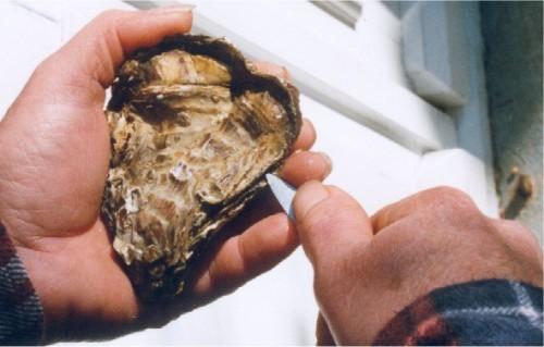Ouverture d'une huître : la bonne position