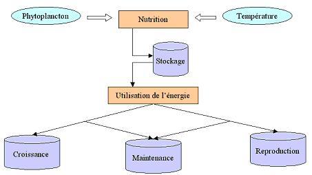 Représentation schématique de l'allocation énergétique dans un modèle DEB