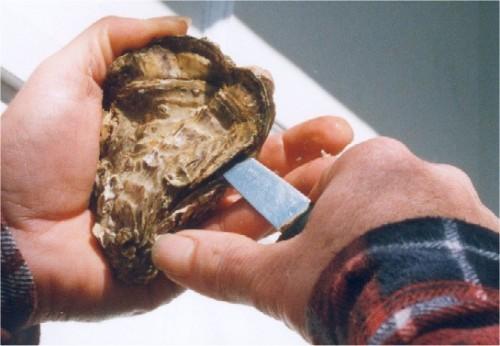 Ouverture d'une huître : introduire la lame